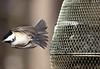 1/4000 sec (jlp771) Tags: shutter fast rapide mésange canon bird jlp771 80d