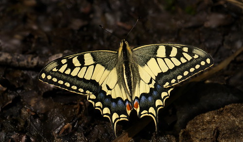 Papilio machaon, Meyrueis, Les Cévennes, France