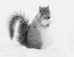 grey squirrel on white snow (marianna_a.) Tags: pc100693 squirrel fluffy cute animal furry winter snow bw monochrome monochromatic greyscale mariannaarmata canada happymonochromemonday hmm