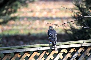Sharp-shinned Hawk ~ visiting the backyard