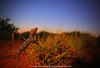 bark at the moon.. (Rob Valentic - Gondwana Reptile Productions) Tags: spectacularaustralianlizards spectacularaustraliangecko iconiclizard iconicaustralianlandscape exmouth yardiecreekherp spinifex westernspinytailedgecko strophurus strophurusciliarisaberrans geckonidae wideanglereptiles desertgecko desertlizards sandandsky sandplain redsoil wareptiles xeric aridaustralianreptiles night sunsetgecko sundown crepuscular robvalentic outbackreptiles westernaustralia kaleidoscopiceyes wideanglelizard 15mmcanonef canoneos5dmark3