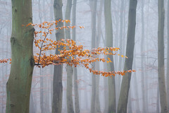 Buchenwald im Spätherbst (Petra Runge) Tags: buchen wald nebel herbst fog mist autumn beeches nature natur woodland forest