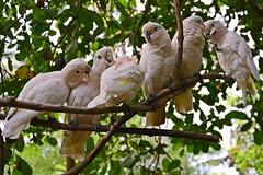 One Big Happy Family (Rudy Sempur) Tags: indonesia lombok westnusatenggara lessersunda ntb lombokelephantpark zoo bokeh animal fauna bird cockatoo parrot nature