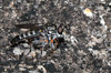 Bathypogon sp. robber fly (jeans_Photos) Tags: westernaustralia armadalemeckeringmerredinnungarin asilidae robber fly