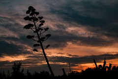Superviviente (arapaci67) Tags: jaen andalucia villanuevadelareina naturaleza nature atardecer canon hobby otoño