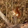Little Red (Variegated Vibes) Tags: squirrel redsquirrel