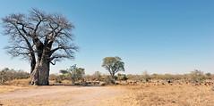 Baobab dans la réserve de Savuti (Voyages Lambert) Tags: africa animalsfeeding antelope baobabtree below botswana chobenationalpark groupofanimals herd impala landscape outback savuti
