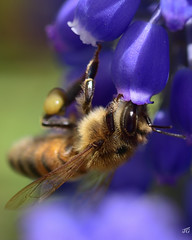Milker (jgaosb) Tags: macro bee flower backyard purple yellow