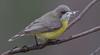 white-throated gerygone (Gerygone olivacea)-3932 (rawshorty) Tags: rawshorty birds canberra australia act namadgivisitorcentre