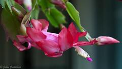 Schlumbergera gaertneri (Johan Grobbelaar) Tags: flora litroos schlumbergeragaertneri