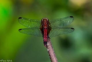Dragon Fly/Libélula