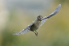 Pinson_A632098_DxO (jackez2010) Tags: ilce6300 sonyfe70200mmf4goss bif birdinflight pinsondesarbres