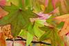 Caddis on Maple (Roy Lowry) Tags: maple autumncolour caddisfly limnephilussp limnephilus bodnantgardens