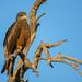 Yellow-billed Kite (PhilHydePhotos) Tags: africa botswana chitabecamp okavangodelta safari