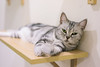 DSC02837 (Wang Foto - 0969 92 97 91) Tags: cat cute pet photography animal cuties kitten kitty lovely tiny mycat babycat sonya7r carlzeiss scottishfold britishshorthair scottishcat catphoto cutecats wangfotovn