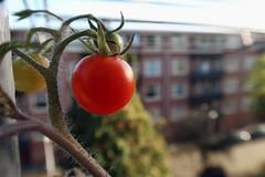 the mini november balcony tomato (digitris) Tags: november red tomato balcony digitris digitri