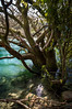 Enchanted Tree (Thibaud Chanfray) Tags: tree fairytell water river taupo newzeland enchanted forest ngc nikon nz landscape magic