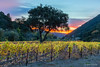 Sunrise In See Canyon (Mimi Ditchie) Tags: seecanyon orchard sunrise tree vineyard getty gettyimages mimiditchie mimiditchiephotography