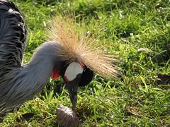 Grey Crowned Crane (seanwalsh4) Tags: 7dwf sundaysfauna greycrownedcrane graceful crane largewingspan 2meterswidewingspan crownofgoldenfeathers peace love happy makemesmile punkrocker hairstyle delightful