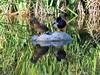 Reflections Of Love (sweetdaddyroses/aka/SDR) Tags: arboretum arcadiaca botanicalgardens duck turtlepond outdoors