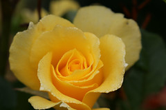 yellow rose (Liouxsie) Tags: yellow rose sl1 100d canon 1855isstm morningdew