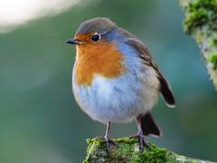 171204_124201_PC040572 - Version 2 (campathmike) Tags: rspbleightonmoss bird