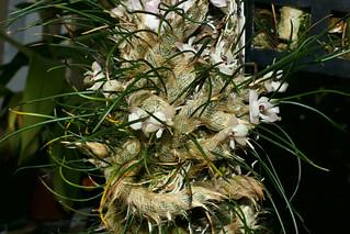 Isabelia virginalis species orchid