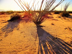 Ocotillo shadow (thomasgorman1) Tags: shadow ocotillo cactus dirt ground shadows nature afternoon sunlight refraction canon desert baja mexico outdoors effects brown saturated enhanced treated