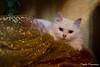 Nia sotto l'albero di Natale (DFrancesconiDSF) Tags: gatto cat cats gatti albero natale oro rosso bianco occhi naso baffi ritratto animali