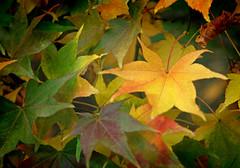 IMG_0609 (bob_rmg) Tags: perrow arboretum tree autumn colour leaves bedale thorp maple