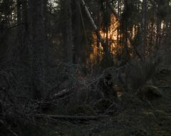 Norra Kvill III (Gustaf_E) Tags: forest höst kaos kväll landscape landskap light ljus mörker nationalpark norrakvill skog småland sverige sweden urskog woods