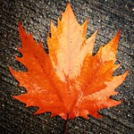 Sycamore Maple Brilliant Orange thumbnail