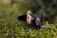 Anhinga on the Pantanal, Brazil (donnatopham) Tags: brazil pantanal transpantanera anhinga