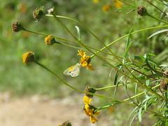 IMG_5464 (MLDelfino) Tags: butterfly rgv edinburgscenicwetlands daintysulphur