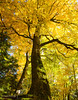 Tree with gold leaves (Eduard B. poze) Tags: sky landscape sunset reflection travel sun clouds rock outdoor summer background beautiful orange love colors fun panorama castle slovenia bled the tree park wood forest