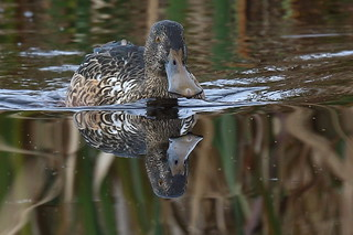 Shoveler in reflection