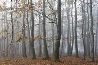 Brunsholms Bäume; Bergenhusen, Stapelholm (26)