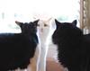 Otis sandwich (rootcrop54) Tags: idaho tuxedo male otis dilute orange ginger tabby masked batman cats cat kitchen counter neko macska kedi 猫 kočka kissa γάτα köttur kucing gatto 고양이 kaķis katė katt katze katzen kot кошка mačka gatos maček kitteh chat ネコ