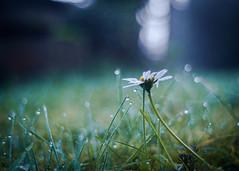 Sometimes a Daisy is enough... (ursulamller900) Tags: daisy gänseblümchen pentacon2829 grass gras morningdew tautropfen bokeh mygarden