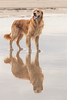 A Reflection of Leki (sbancrof) Tags: 2017 alnmouth beech dog goldenretriever gundog october sea water