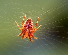 P1060908 - Spinne im Netz (Bine&Minka2007) Tags: spinne spider web insects insekten makro macro christal