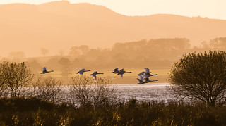 Whooper  Swans over Loch Leven 140_236