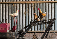 chickens-on-digger3 (leavesnbloom photography by Rosie Nixon) Tags: poultry chickens rooster digger barn indoors perching countryside scotland perthshire birdphotography birds sleeping