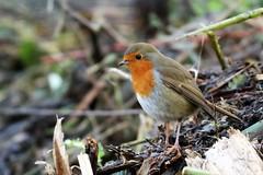 Robin (stellagrimsdale) Tags: robin redbreast ryemeads leavalley bird beak feathers twigs branch autumn red breast