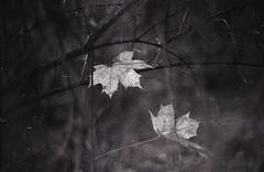 (Vakkor's Photostream) Tags: film analog analogfilm kiev4a polypanf polypan selfdeveloped ilfosol3 jupiter3lens 50mm 5015 autumn grain