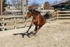 IMG_7229 (Tyler Ochs Photography) Tags: horses horse halter rear rearing gallop galloping