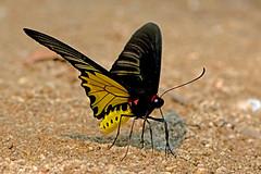 Troides aeacus - the Golden Birdwing (male) (BugsAlive) Tags: butterfly mariposa papillon farfalla schmetterling бабочка conbướm ผีเสื้อ animal outdoor insects insect lepidoptera macro nature papilionidae troidesaeacus goldenbirdwing papilioninae wildlife doisutheppuinp chiangmai liveinsects thailand thailandbutterflies ผีเสื้อถุงทองธรรมดา bugsalive เชียงใหม่