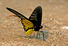 Troides aeacus - the Golden Birdwing (male) (BugsAlive) Tags: butterfly mariposa papillon farfalla schmetterling бабочка conbướm ผีเสื้อ animal outdoor insects insect lepidoptera macro nature papilionidae troidesaeacus goldenbirdwing papilioninae wildlife doisutheppuinp chiangmai liveinsects thailand thailandbutterflies ผีเสื้อถุงทองธรรมดา