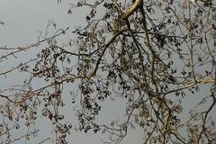 Alnus glutinosa (zwarte els) (polletjes) Tags: alnus glutinosa zwarte els branch tak boom bomen tree trees sky lucht herfst autumn automne herbst najaar blauw groen natuur nature nederland netherlands