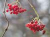 Berries (✦ Erdinc Ulas Photography ✦) Tags: lenstagger red berries berrie bes bessen rood redberries netherlands holland nederland hexagon konica boom bokeh rain druppel regen drop green groen nature natuur sundaylights